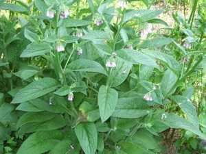 comfrey-plant